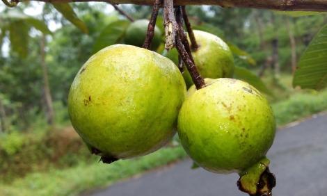 guava-888070_1920